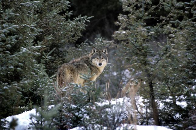 Újra farkasok járják a hazai erdőket