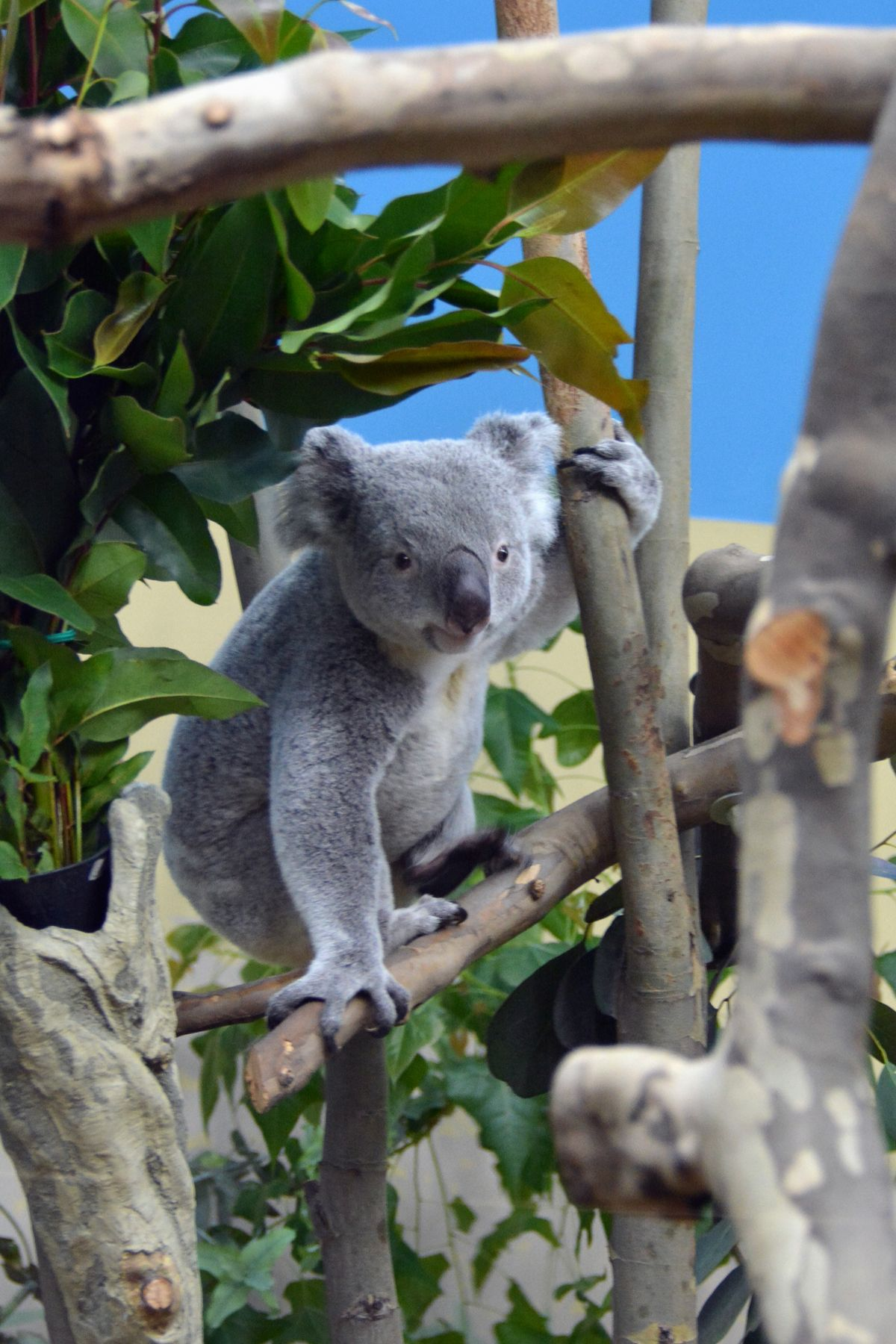 Elpusztult Vobara, a Fővárosi Állat- és Növénykert koalája
