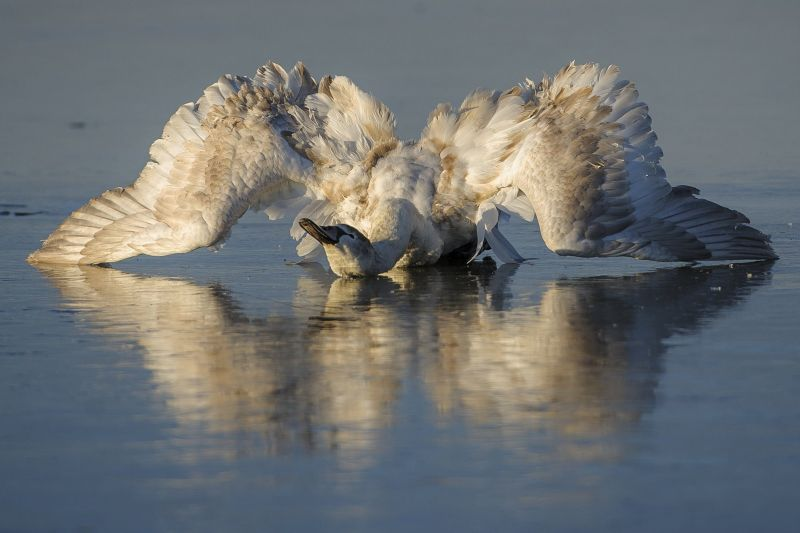 Drámai képek a Tisza-tavon jégbe fagyott hattyúról
