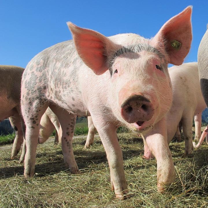 Állatkínzás: malacot szúrt le egy kisgyerek, felnőttek vették rá