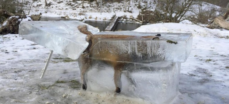 Jégtömbbe fagyott rókát gyászol az internet – fotóval