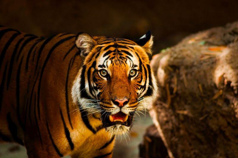 Tűz ütött ki a cirkuszban, bennégtek a tigrisek