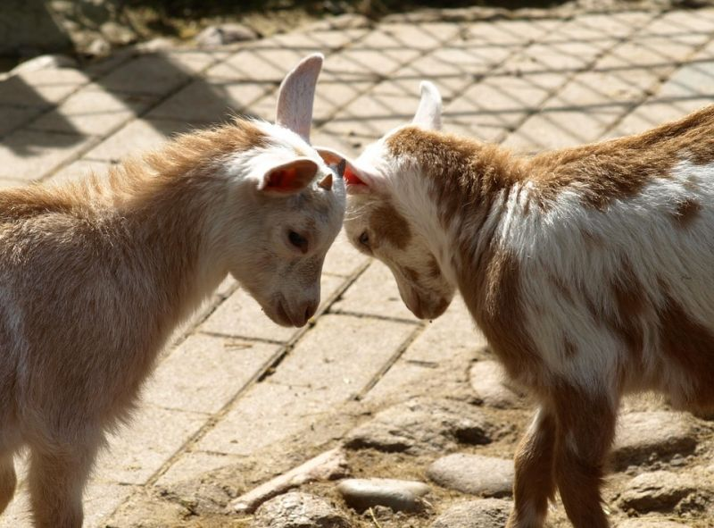 Veszett kecskéket találtak Borsod megyében