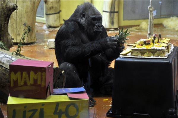 40 éves lett az Állatkert legidősebb gorillája