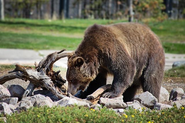 Az utcán támadott a medve Erdélyben – ketten megsérültek