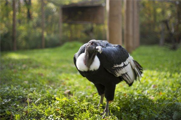 Kondorkeselyűk érkeztek a Nyíregyházi Állatparkba