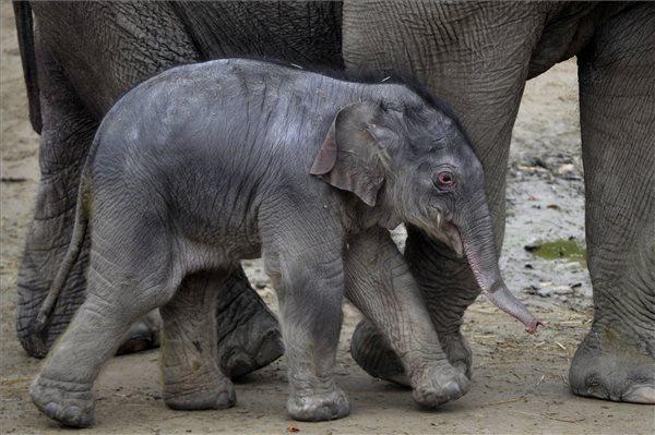 Eldőlt, ezt a nevet kapta a Budapesten született kiselefánt