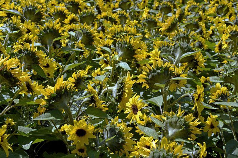 Kevesebb növény termett, mint tavaly – nagyjából 10 millió tonna