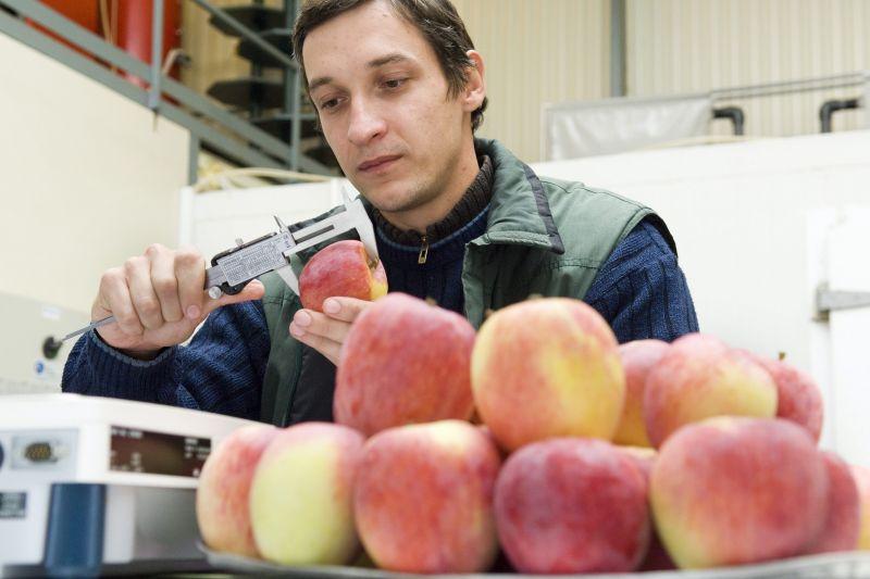 A szabolcsi alma eltűnhet a piacokról – ettől rettegnek a termelők