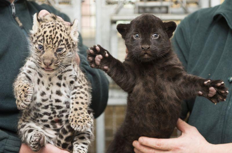 Karácsonyi elolvadás: íme a nyíregyházi Állatpark jaguárikrei