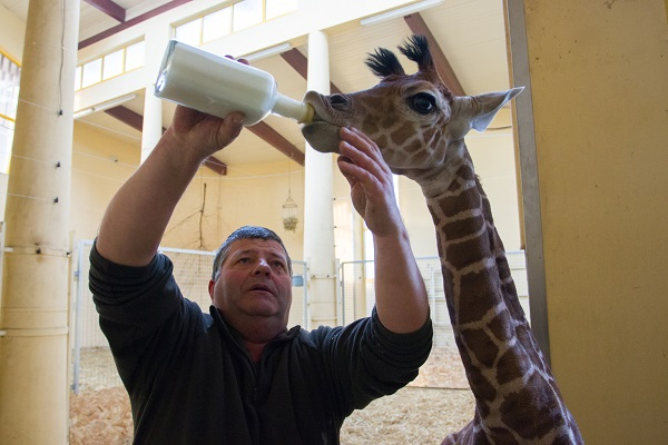 Cumisüvegből táplálják a zsiráfbébit Debrecenben – fotók