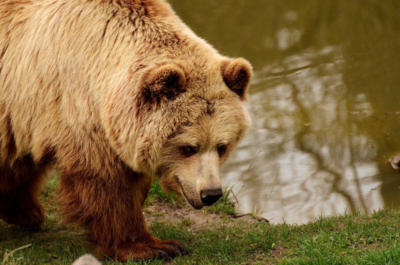 Megjelentek a medvék Magyarországon, és egyre többen vannak
