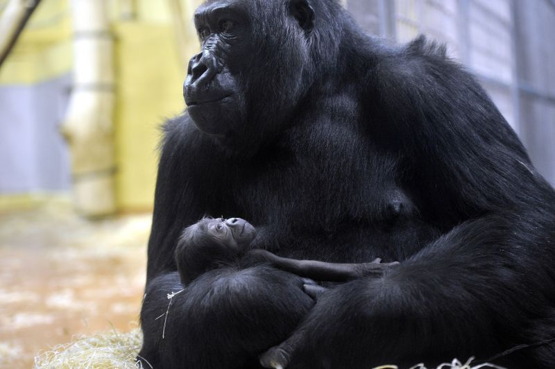 Le kellett zárni az Emberszabásúak Házát a bunkó módon viselkedő emberek miatt az állatkertben