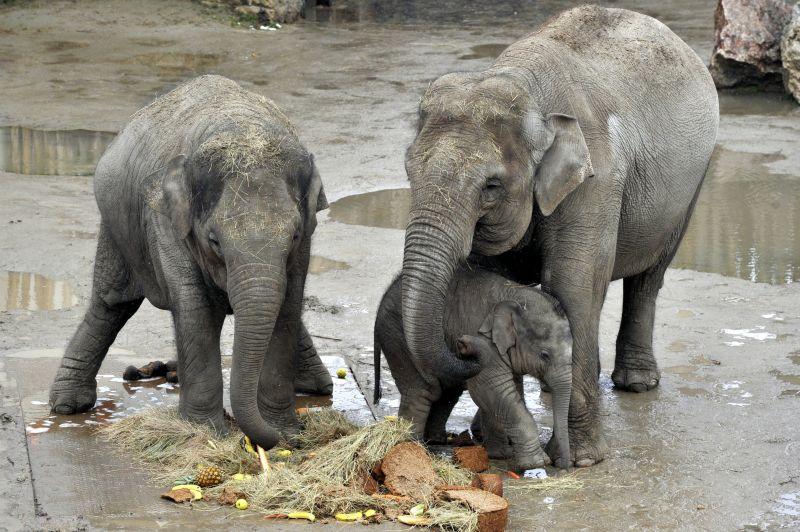 Képek: ötödik születésnapját ünnepelte az állatkert elefántja