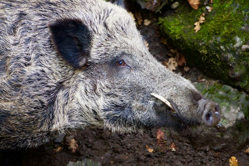Morvaországban újra támad a sertéspestis