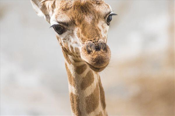 Nagyon cuki zsiráfborjú született a Nyíregyházi Állatparkban – fotó