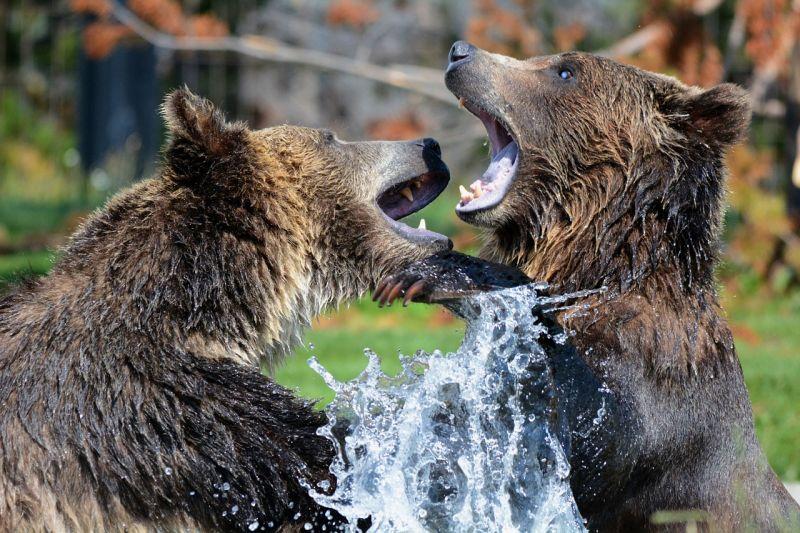 A vadászat miatt tovább maradnak anyjuk mellett a svéd barnamedvebocsok