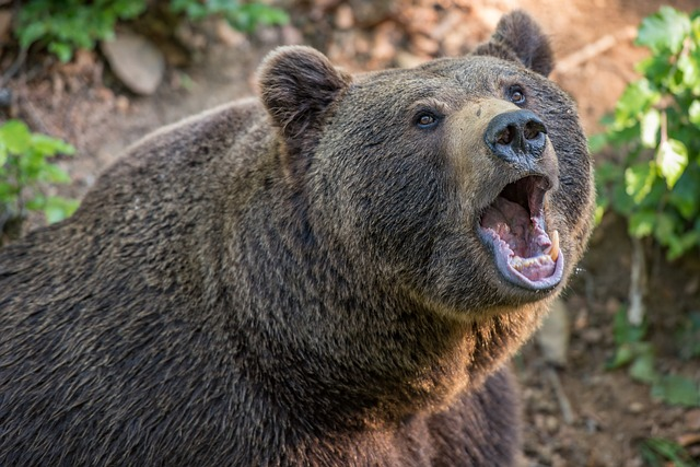 Medve harapott meg egy pásztort