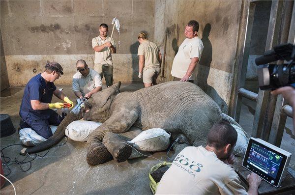 Afrikai elefántbika agyarát műtötték meg a Nyíregyházi Állatparkban – ezt a beavatkozást a világon csak három állatorvos képes elvégezni – fotó