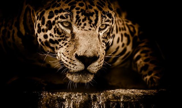 Kiszabadult egy jaguár az állatkerti karámjából – egy róka a kilencedik áldozata
