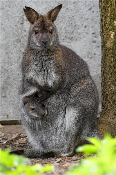 Ennél cukibb képet ma már nem lát! Így kukucskál anyja erszényéből a Bennett-kenguru bébi a debreceni állatkertben – fotó