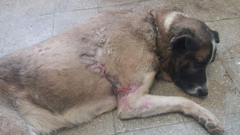 Borzalmas: brutálisan megkínzott, összekötözött lábú kutyára találtak egy ház dohos pincéjében Arlón