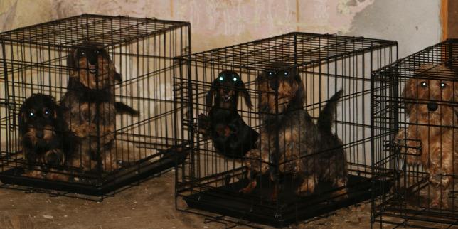 Több mint 100 tacskó élt borzalmas körülmények között Barcson: saját vizeletükben feküdtek, ketrecekben éltek és lesoványodtak