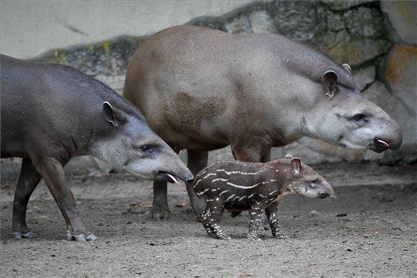 Nagyon cuki – tapírbébi született a debreceni állatkertben – fotó