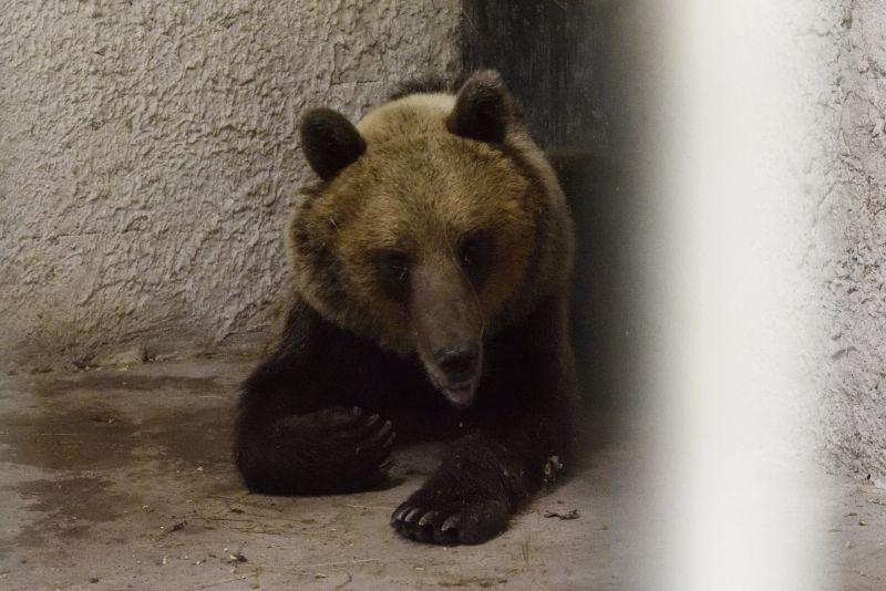 Egy történet vége: szabadon engedték a Nemzet Medvéjét