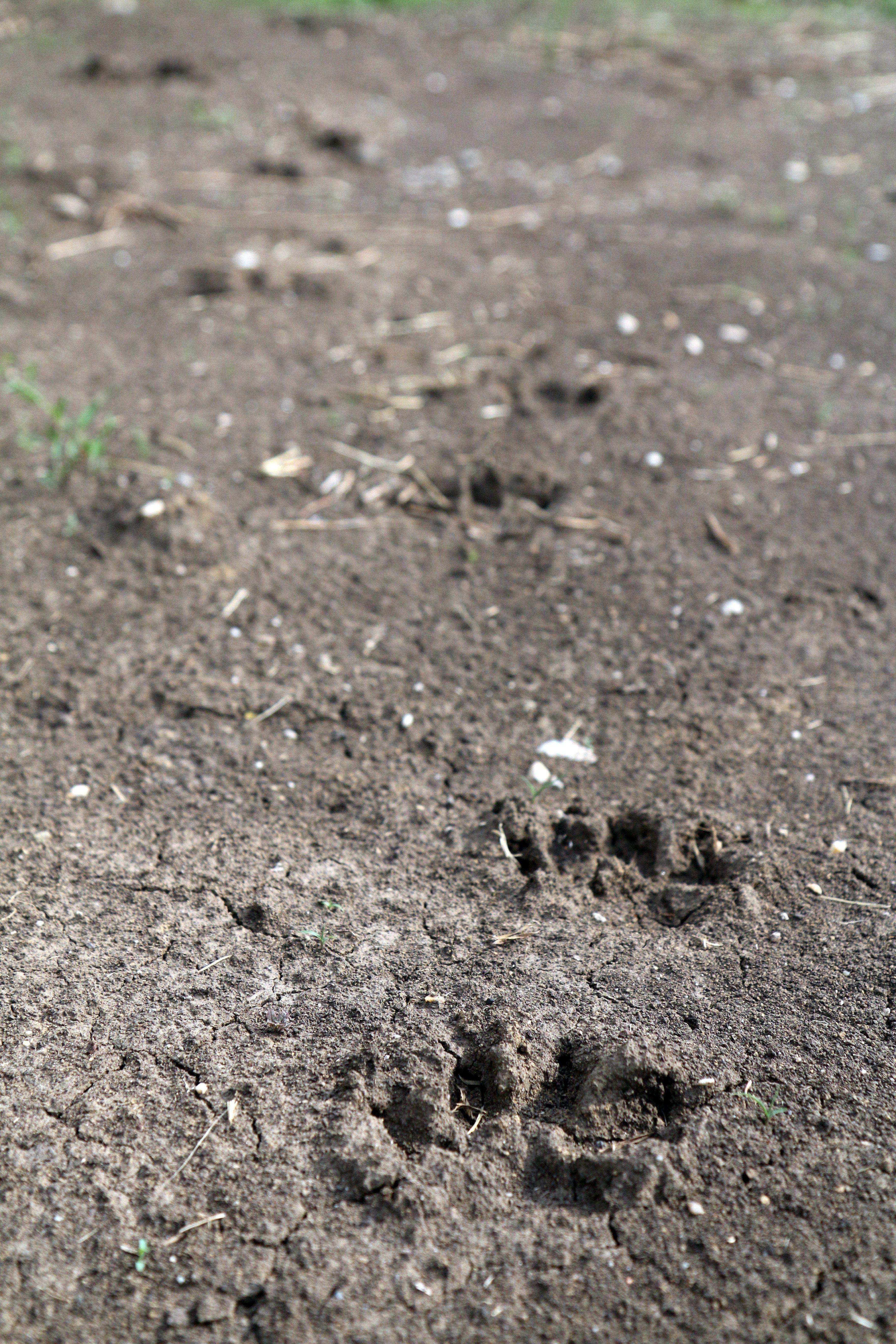 Tóvábbra is Miskolc környékén ólalkodik egy medve – fotó