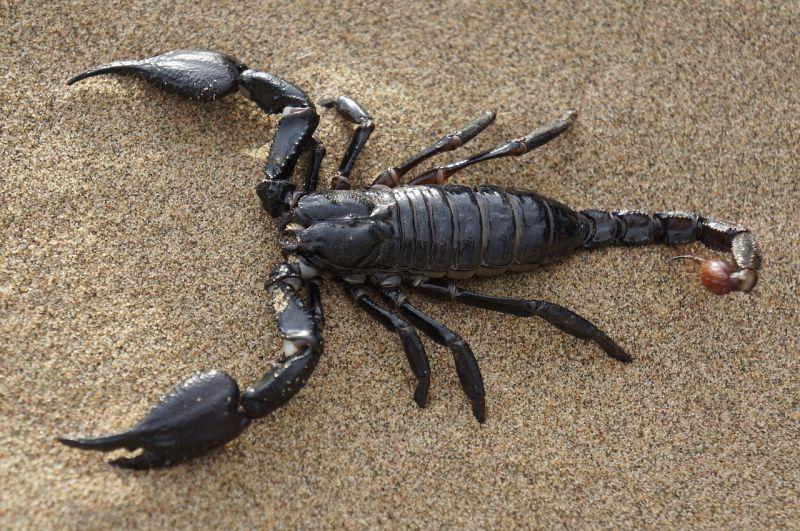 Elszaporodtak a brazil városokban a veszélyes skorpiók