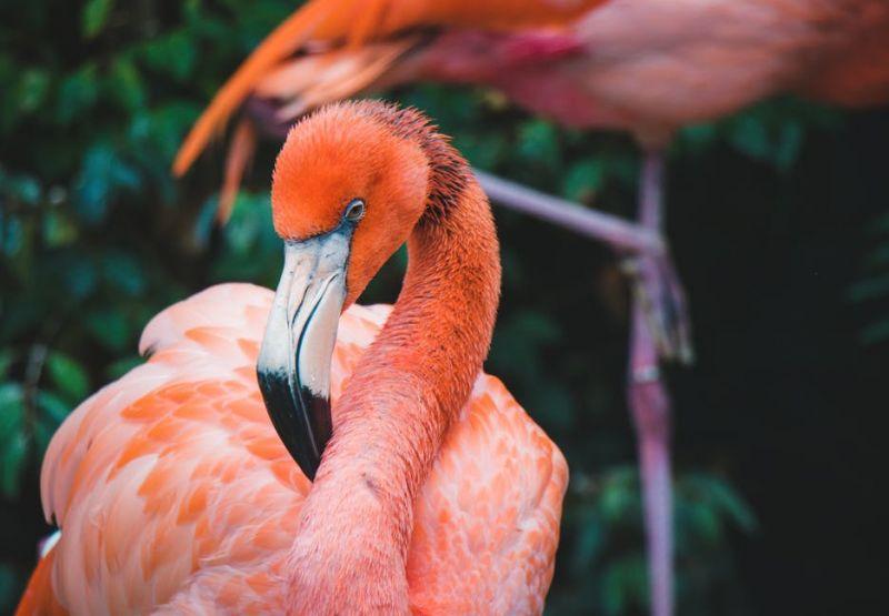 Szaporodós kedvük lett a flamingóknak az angliai melegben