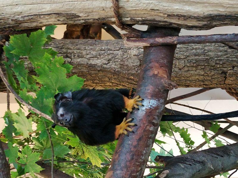 Nőstény tamarin érkezett a debreceni állatkertbe