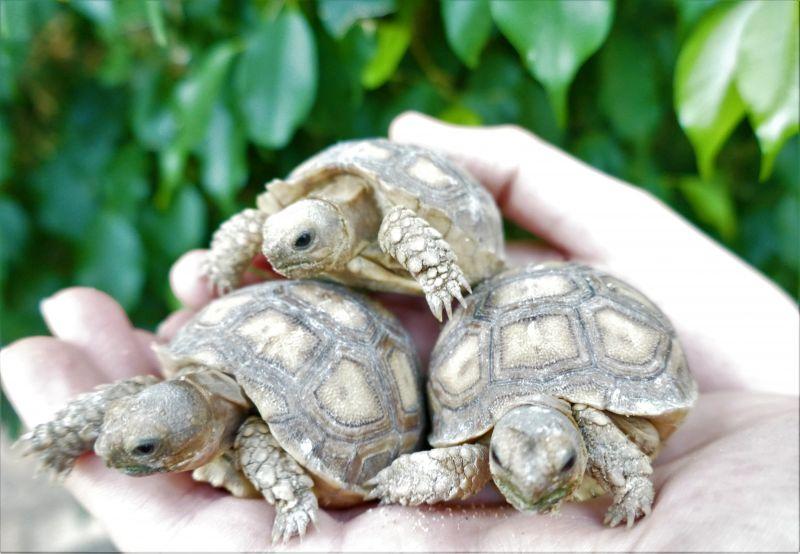 Ritka teknősfaj kicsinyei is láthatók Debrecenben