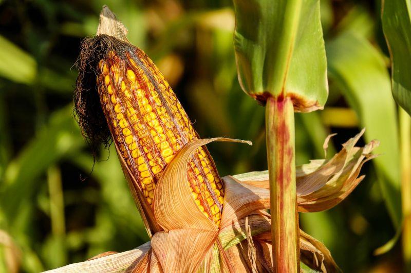 8500 tonnát adtak el, pedig egy szem kukoricájuk sem volt