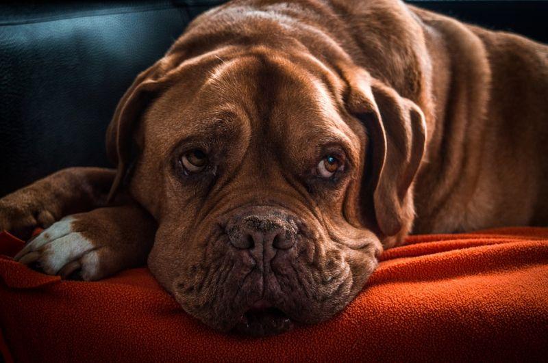 Szívbetegséget okozhatnak a divatos kutyaétrendek