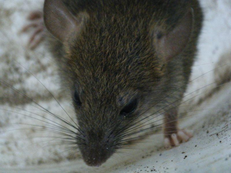 Újabb budapesti kerület döntött: nem várnak Tarlósra, maguk írtják a patkányokat