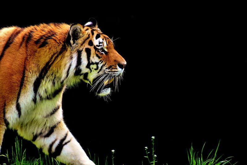 Egy megvadult tigris motorosokat vett üldözőbe