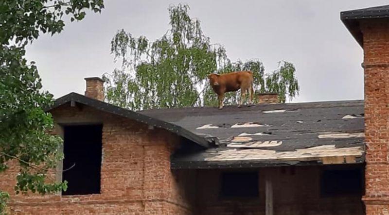 Tetőre mászott az agresszív tehén