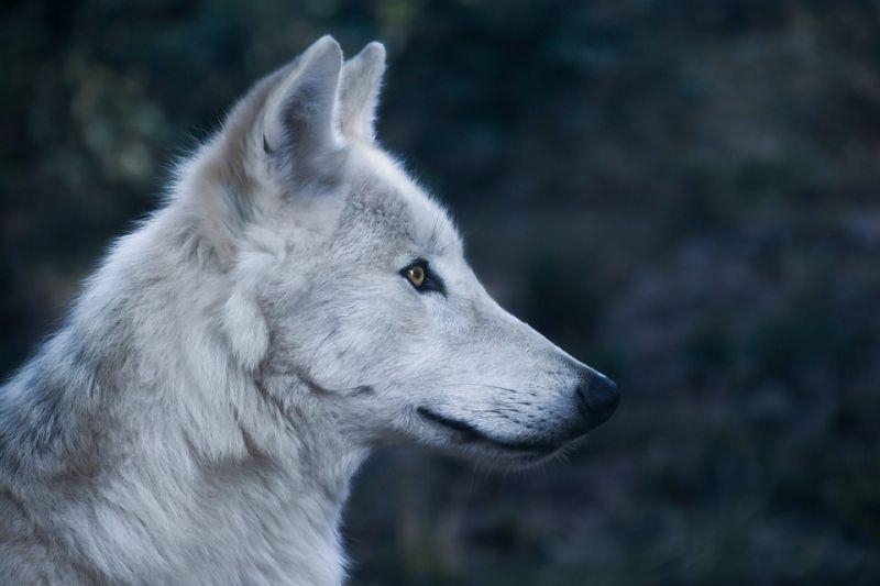 Ez a magyar falu megvédené a farkasokat