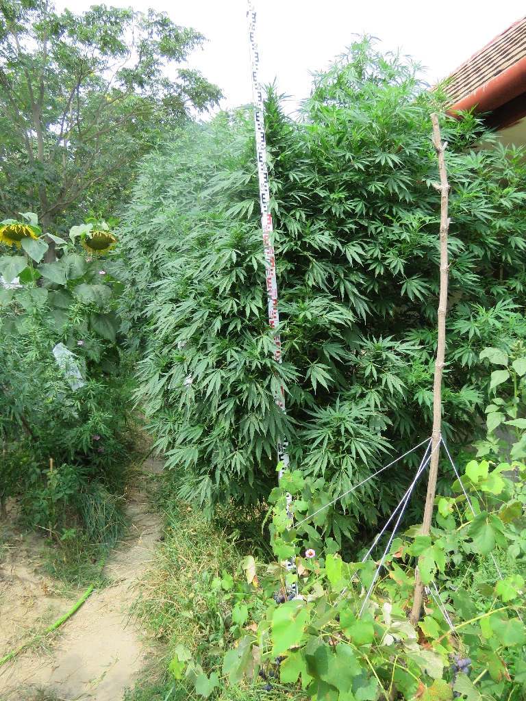 Úgy nőtt a kertben a cannabis, mint máshol a gaz