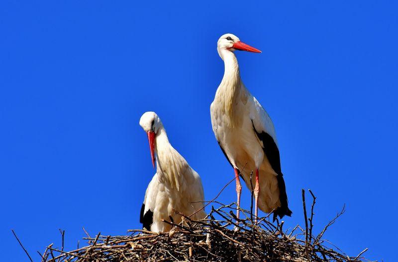 Rekord: hét kisgólya nőtt fel egyetlen fészekben