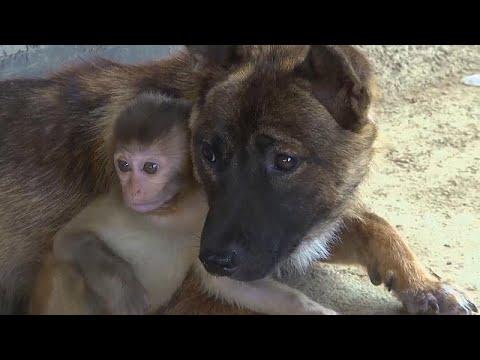 Hétfői szupercikiság: három kutya neveli a sérült lábú makákókölyköt – videó