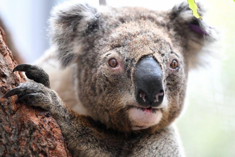 A koaláknak semmi se jó: most az esővel van bajuk