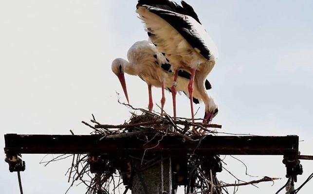 Remélhetőleg nem üti agyon az áram az Érden késve fészket rakó gólyákat