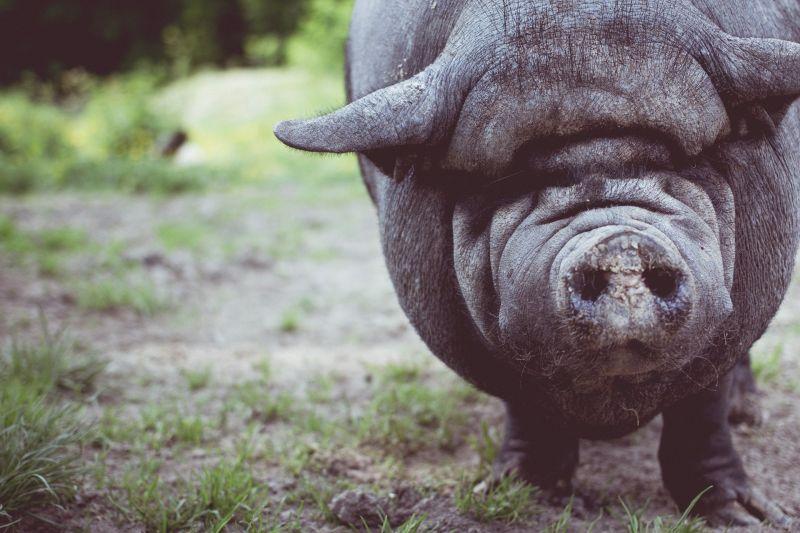 Fékezés nélkül belehajtott egy vaddisznóba a motoros – ez történt az állattal