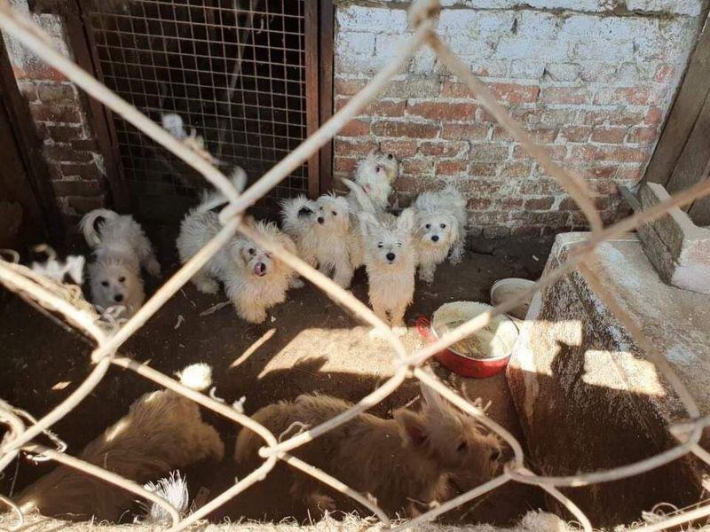 Százötven kutyát tartott, állatkínzással gyanúsítják