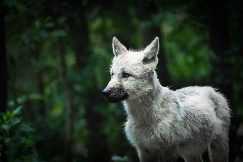 Szupercukiság borongós kedd reggelre: itt van egy remek videó egy farkaskölyökről egy magyar erdőben