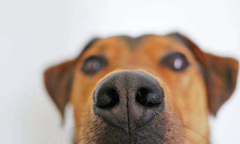 Koronavírust kiszagoló kutyák álltak szolgálatba egy repülőtéren