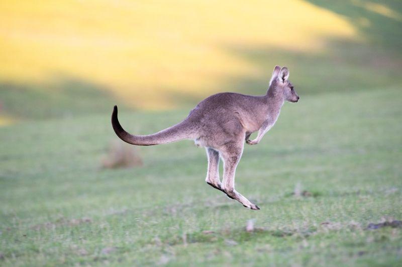 Elfogták a Miskolci Állatkertből megszökött kengurukat
